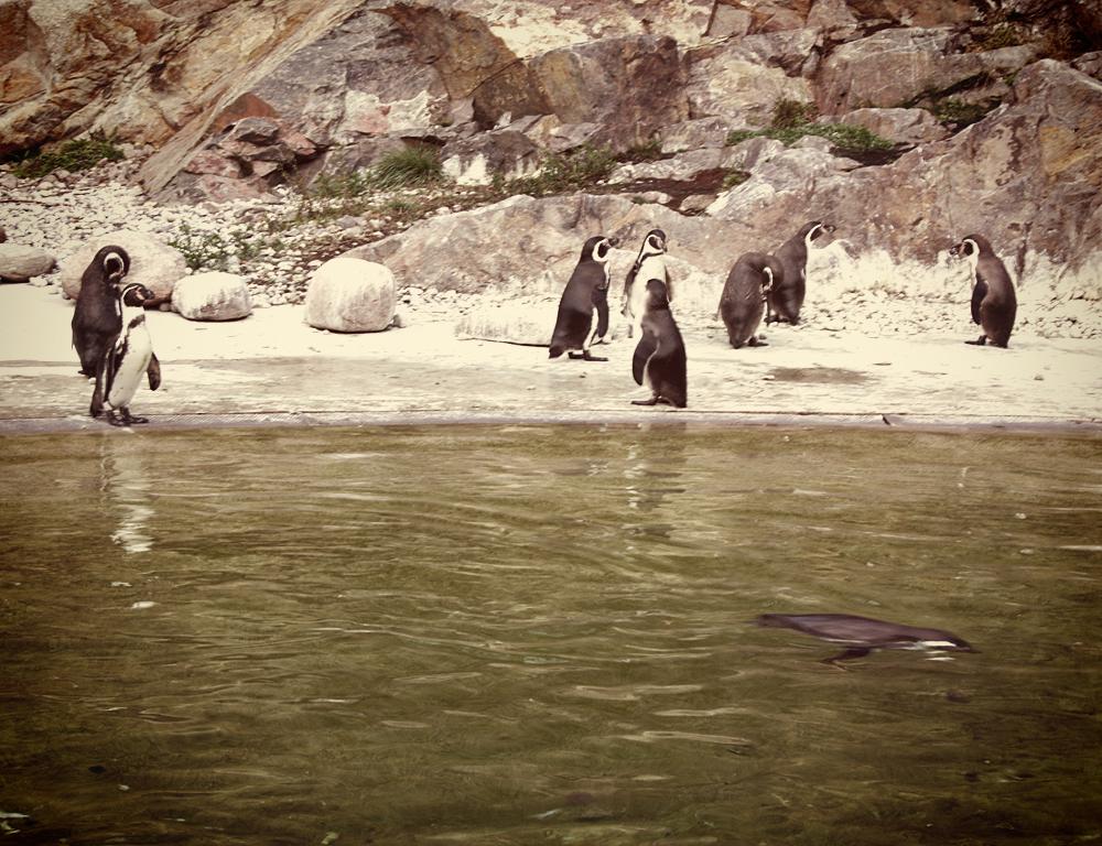 Penguins slottsskogen Sweden