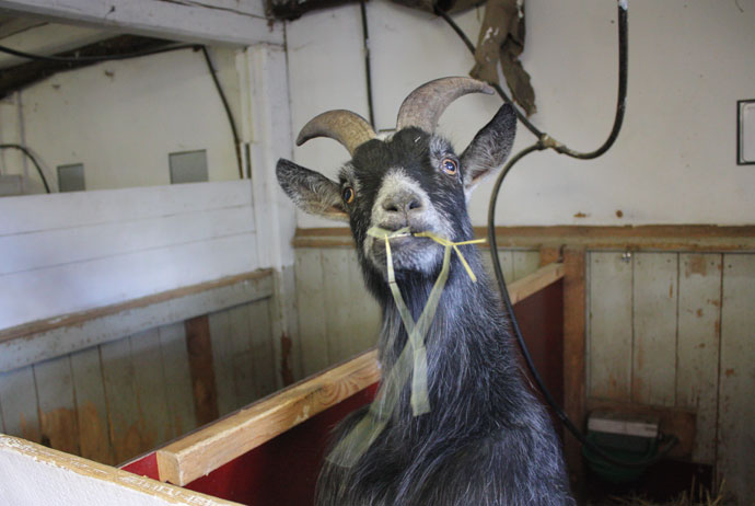 Crazy goats aplenty in Gamla Linköping