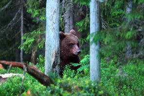 A brown bear in Sweden