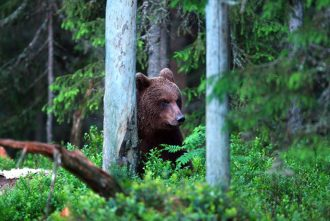 A brown bear in Sweden