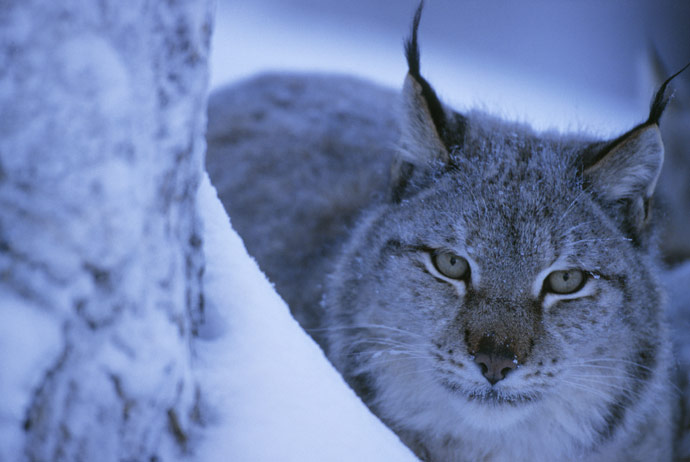 Swedish wildcats are threatened