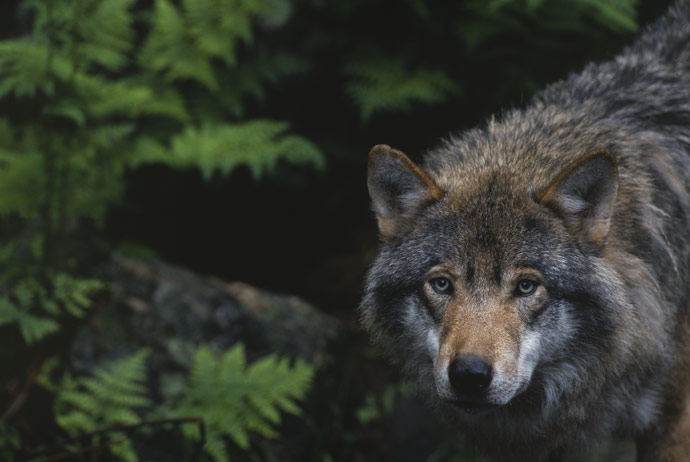 Swedish wolves are now on the list of threatened wildlife