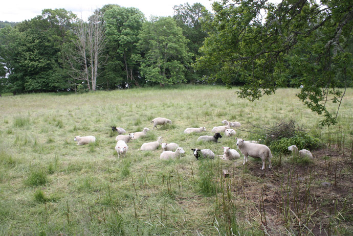 Sheep at the Swedish manor house called Nääs Slott