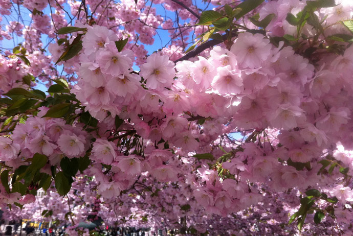 Cherry blossoms in Sweden