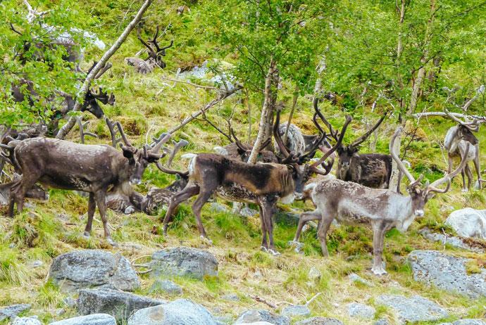 Reindeer herding in northern Norway