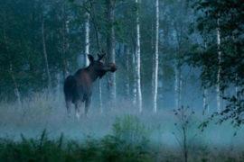 Moose safari in Sweden