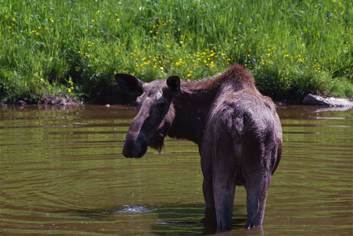 You can go on a moose safari in Sweden