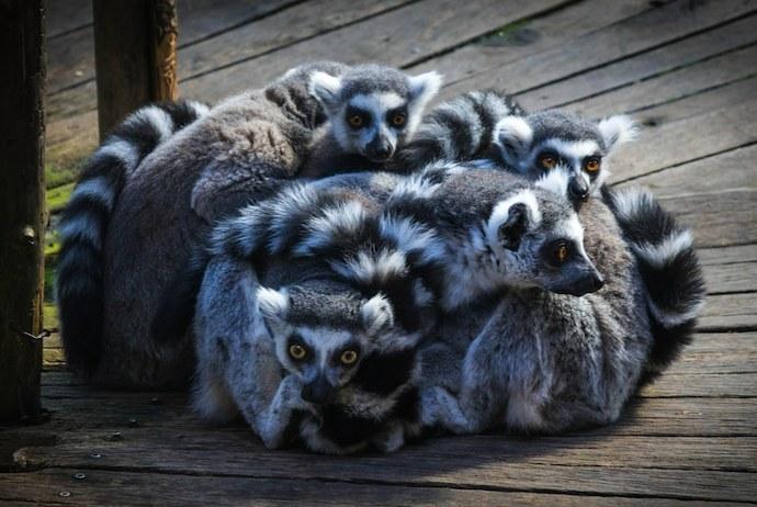 Lemurs at Skansen, Stockholm