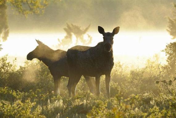 Moose safari near Stockholm