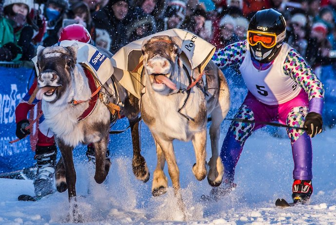 Watch reindeer race down the high street during Sami week in Tromso.