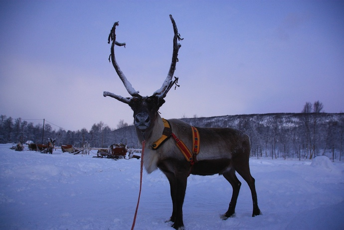 See the northern lights by reindeer sleigh in Finnish Lapland