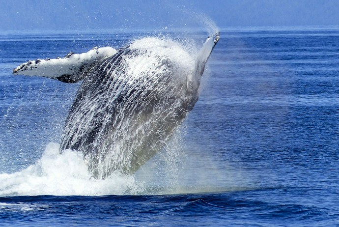 Find out all you need to know about whale safaris in Norway