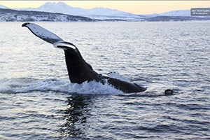 Polar Whale and Sea Bird Safari by Boat, Tromsø