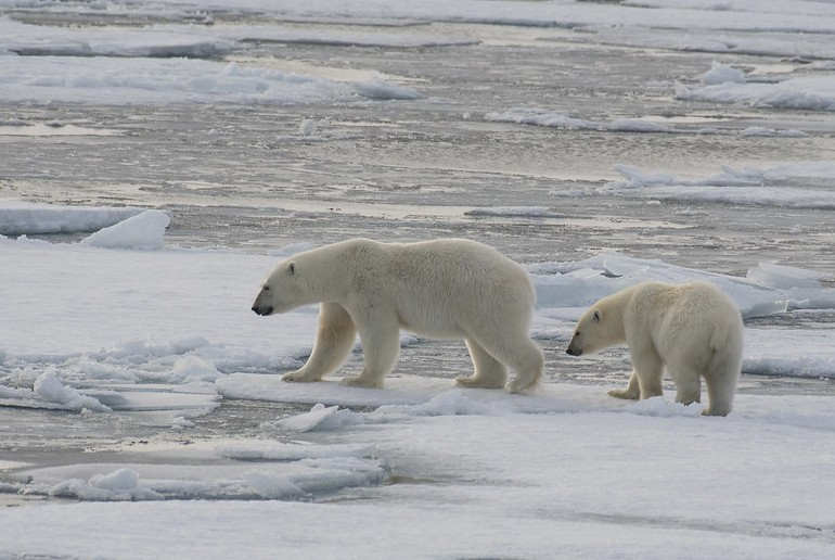 You can see polar bears in Svalbard