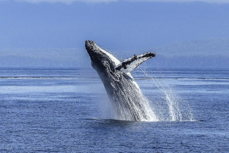 There are lots of whale watching opportunities in Norway