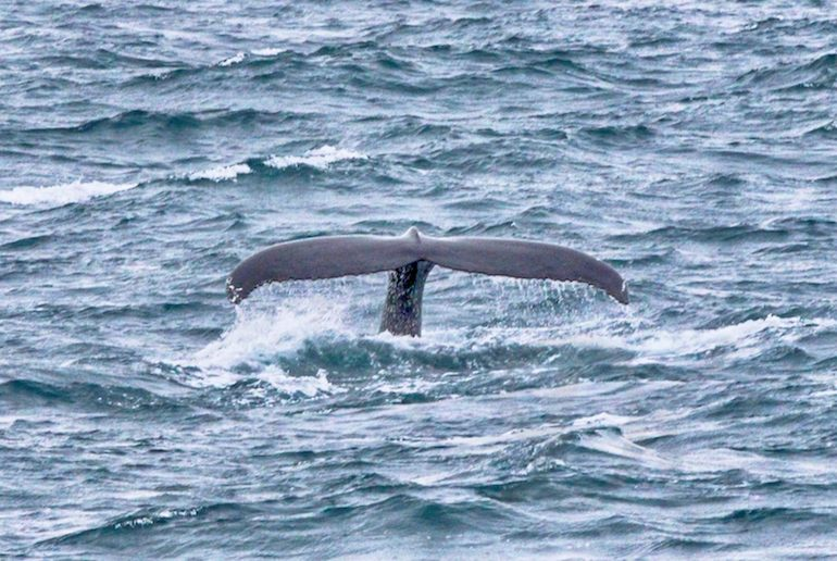 Many whale-watching trips from Reykjavík offer a free ticket on a 2nd cruise if you don't see any whales