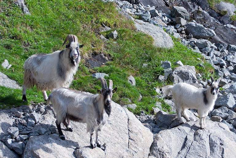 Go hiking with goats on a wildlife tour in Norway