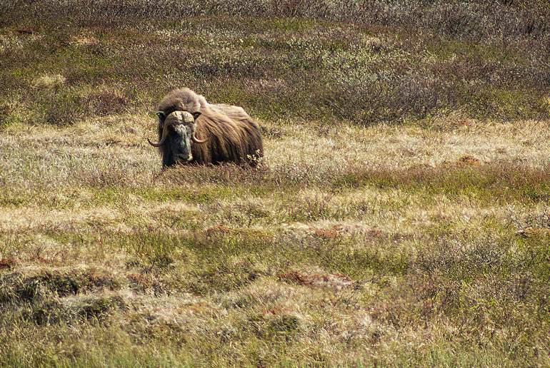 Musk ox can be seen on wildlife tours in Dovrefjell in Norway