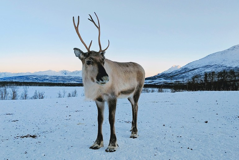 Feed reindeer on a wildlife tour in Norway
