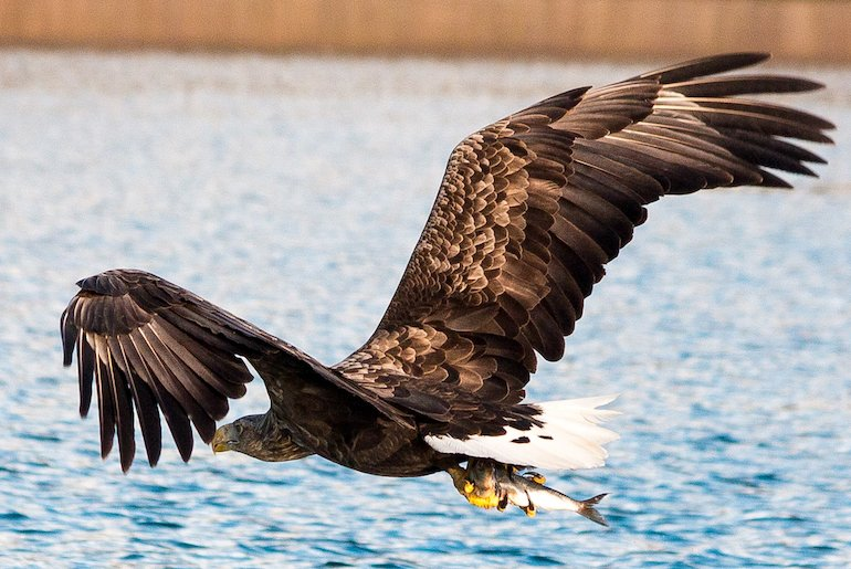 Sea eagles can be seen on wildlife tours in the Lofoten Islands in Norway