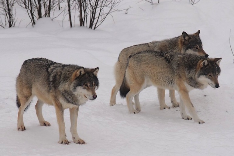 Go paddling with wolves on a wildlife tour in Norway