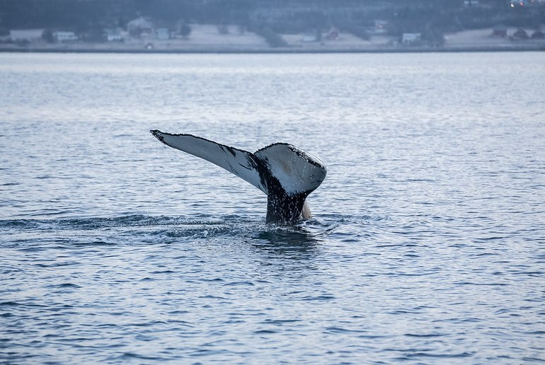 Whale watching in Tromso is a fascinating way to see northern Norway