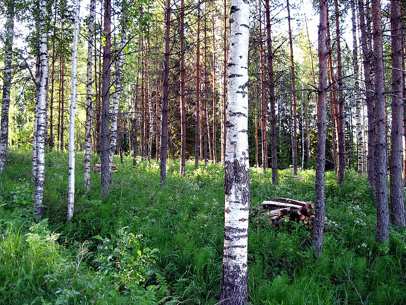 The Finnish surname Aarnio means pristine forest